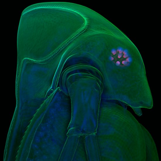 2009-11-21 The best annual biological photomicrographs, Daphnia microscopic according topped