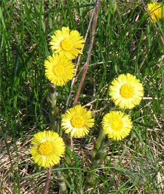 3-15-Birthday Flowers:Coltsfoot dandelion-Florid:Precocious-Birthstone:Coral