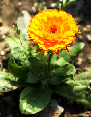 3-25-Birthday Flowers:Calendula '-Florid:Relief-Birthstone:Coral
