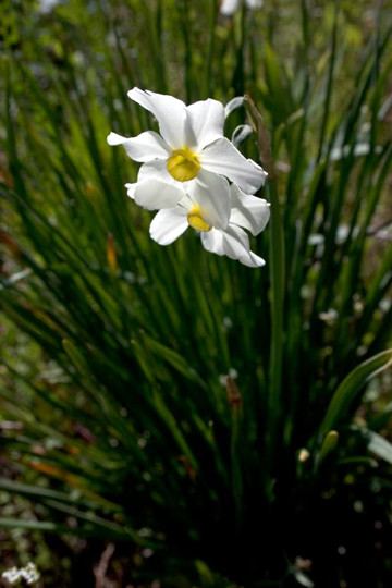 4-13-Birthday Flowers:Wild daffodils-Florid:Rare-Birthstone:Diamond