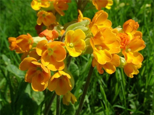 4-30-Birthday Flowers:Cowslip-Florid:Mature-Birthstone:Diamond