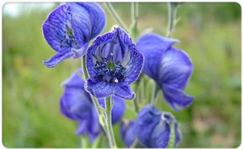 5-19-Birthday Flowers:Aconite flower-Florid:Malice-Birthstone:Emerald