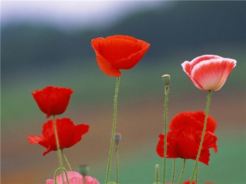 5-24-Birthday Flowers:Oriental poppies-Florid:Delicate-Birthstone:Emerald
