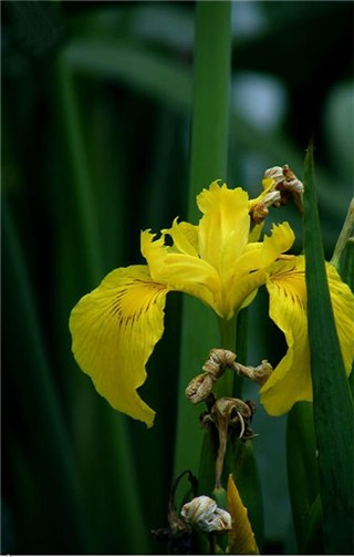 6-10-Birthday Flowers:Yellow Iris-Florid:Victory-Birthstone:Pearl