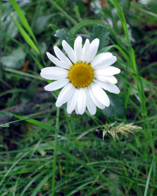 6-11-Birthday Flowers:France daisy-Florid:Calm-Birthstone:Pearl