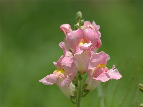 7-10-Birthday Flowers:Snapdragon-Florid:Camouflage-Birthstone:Ruby