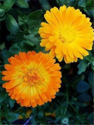 7-15-Birthday Flowers:Calendula-Florid:Meticulous-Birthstone:Ruby