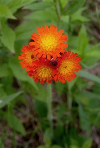 7-19-Birthday Flowers:Orange mountain willow herb-Florid:Discerning-Birthstone:Ruby