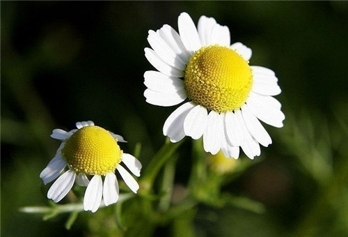 7-26-Birthday Flowers:German chamomile-Florid:Longevity-Birthstone:Ruby