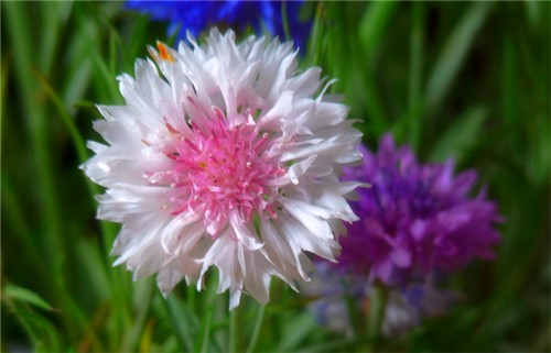 7-29-Birthday Flowers:Cornflower-Florid:Meet-Birthstone:Ruby