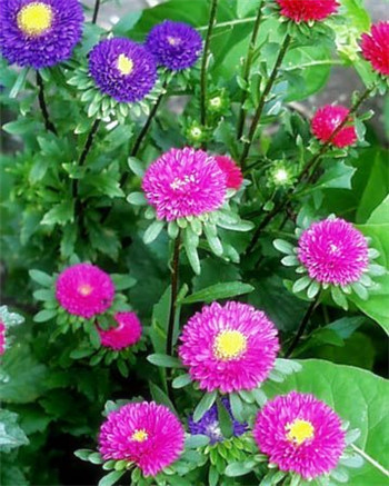 8-11-Birthday Flowers:China aster-Florid:Chastity-Birthstone:Agate