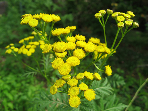 8-23-Birthday Flowers:Tansy-Florid:-Birthstone:Agate