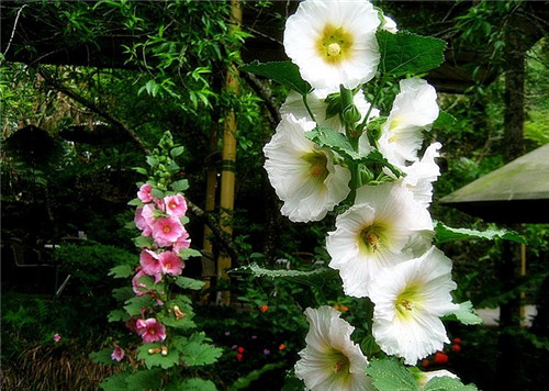 8-29-Birthday Flowers:Mujian mallow-Florid:Do not pouting-Birthstone:Agate
