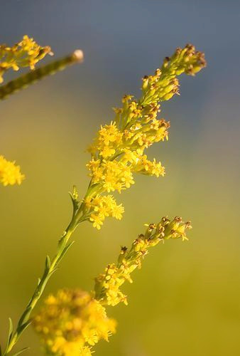 9-9-Birthday Flowers:Canada goldenrod grass-Florid:Influence-Birthstone:Sapphire