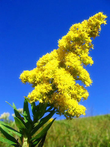9-26-Birthday Flowers:Huge goldenrod-Florid:Countercurrent-Birthstone:Sapphire