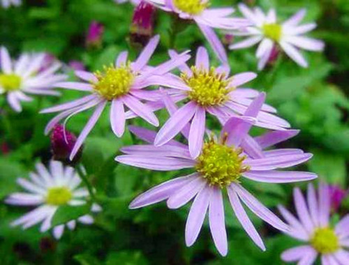 9-27-Birthday Flowers:Aster flowers-Florid:Aristocratic taste-Birthstone:Sapphire