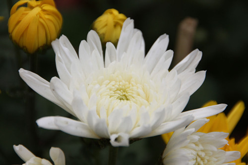 10-7-Birthday Flowers:White chrysanthemum-Florid:Noble-Birthstone:Opal