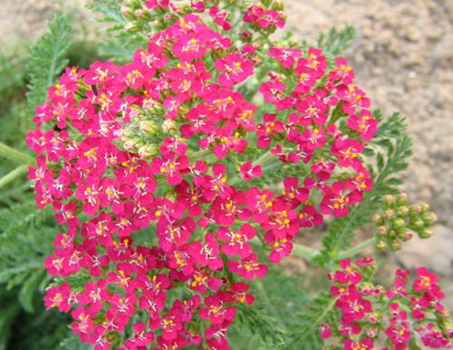 10-8-Birthday Flowers:Yarrow-Florid:Treatment-Birthstone:Opal