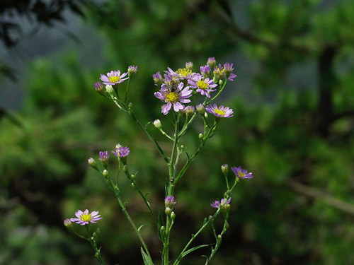 10-14-Birthday Flowers:Willow aster-Florid:Test-Birthstone:Opal