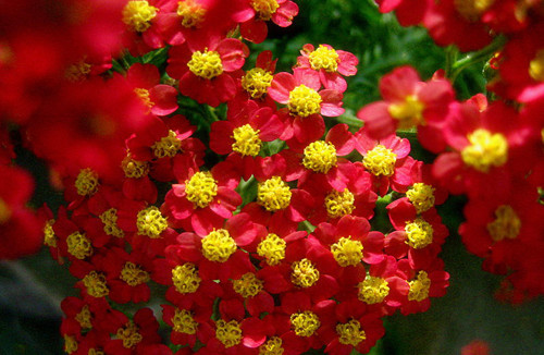 10-16-Birthday Flowers:Yarrow-Florid:Careless-Birthstone:Opal