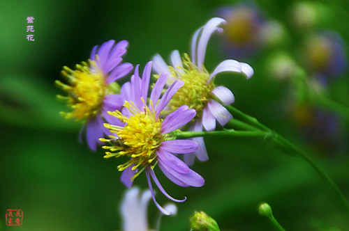 10-23-Birthday Flowers:Aster flowers-Florid:And in-Birthstone:Opal