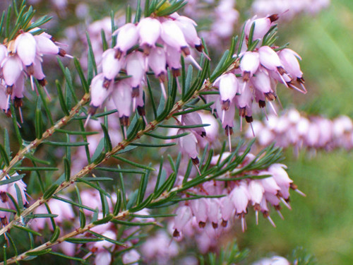 12-27-Birthday Flowers:Spring heather-Florid:Pet-Birthstone:Turkish Jade